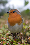 European Robin (Erithacus rubecula) September 2007, hightae,