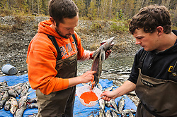 David Campbell (left) and Dylan Burbank, fish technicians for the non-profit Northern Southeast Regional Aquaculture Association, Inc. (NSRAA), harvest roe from a female chum salmon next to a man-made spawning channel near Herman Creek located near Haines, Alaska.<br /> <br /> NSRAA built the channel to collect wild broodstock by harvesting spawning female and male salmon for their eggs and milt to artificially spawn wild chum salmon. The eggs are fertilized with milt and placed in stream-side incubation boxes on Herman Creek and the Klehini River. In 2014, 2.4 million eggs were seeded into these incubation boxes. The 2013 incubation box survival rate was 90%. Without the artificial spawning, natural survival is said to be only 10%.<br /> <br /> Female chum salmon may lay as many as 4,000 eggs, but typically the range is 2,400 to 3,100 eggs. <br /> <br /> Based in Sitka, Alaska, NSRAA conducts salmon enhancement projects in northern southeast Alaska. It is funded through a salmon enhancement tax (of three percent) and cost-recovery income. NSRAA also produces sockeye, chinook, and coho salmon.<br /> <br /> Male chum salmon return to Herman Creek to spawn with female chum salmon during the fall chum salmon run. The chum salmon return to freshwater Herman Creek, tributary of the Klehini River after living three to five years in the saltwater ocean. Spawning only once, chum salmon die approximately two weeks after they spawn. <br /> <br /> Chilkat River and Klehini River chum salmon are the primary food source for one of the largest gatherings of bald eagles in the world. Each fall, bald eagles congregate in the Alaska Chilkat Bald Eagle Preserve.