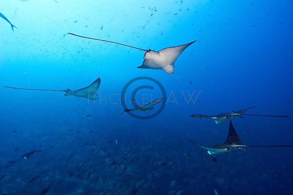 Spotted eagle ray (Aetobatus narinari)