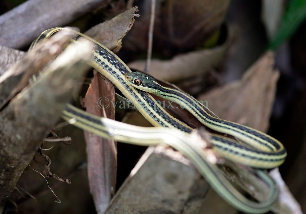 01 June 2015. Jean Lafitte National Historic Park, Louisiana.<br /> An Eastern Ribbon snake in the swamp at the Barataria Preserve wetlands south or New Orleans.<br /> Charlie Varley/varleypix.com