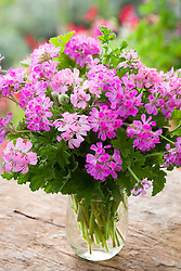 Scented leaf pelargonium collection in a glass vase. Includes Pelargonium 'Pink Capitatum' (syn. Pink Capricorn), 'Sweet Mimosa' and 'Attar of Roses'