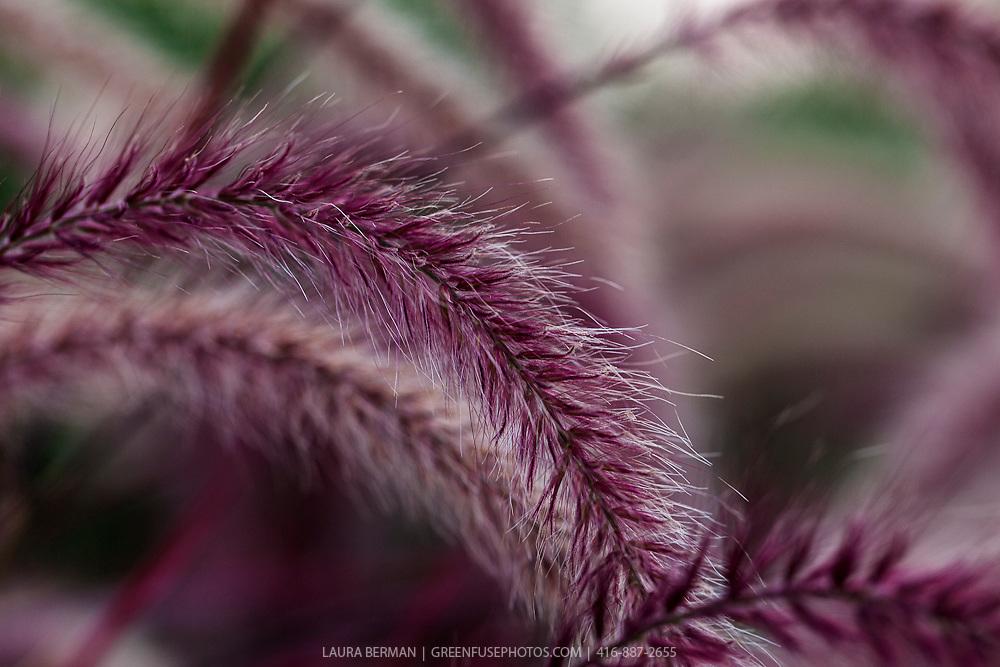 Fireworks Variegated Purple Fountain Grass (Pennisetum setacum rubrum 'Fireworks')