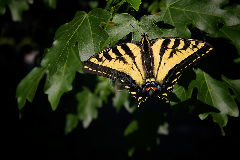 Flowers at home, July 2012. Western Tiger Swallowtail.