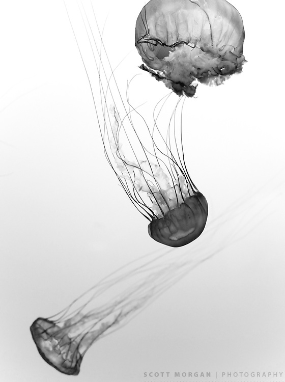 Scott Morgan Photography 2010<br /> Jellyfish series from California, USA.