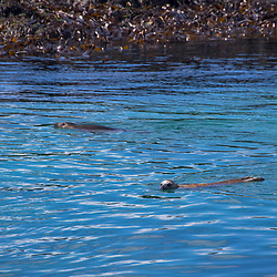 Foca-comum (Phoca vitulina) fotografado na Escócia, na Europa. Registro feito em 2019.<br /> ⠀<br /> ⠀<br /> <br /> <br /> <br /> <br /> <br /> <br /> ENGLISH: harbor seal photographed in Scotland, in Europe. Picture made in 2019.