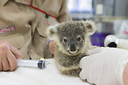 Koala <br /> Phascolarctos cinereus<br /> Veterinarian, Vere Nicolson, administering IV fluids to eight-month-old joey sick with urinary tract infection<br /> Dreamworld, Queensland, Australia<br /> *Captive<br /> *Model release available