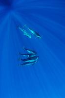 Shortfin pilot whales underwater (Globicephala macrorhynchus) in Canary Islands, Spain, Europe.