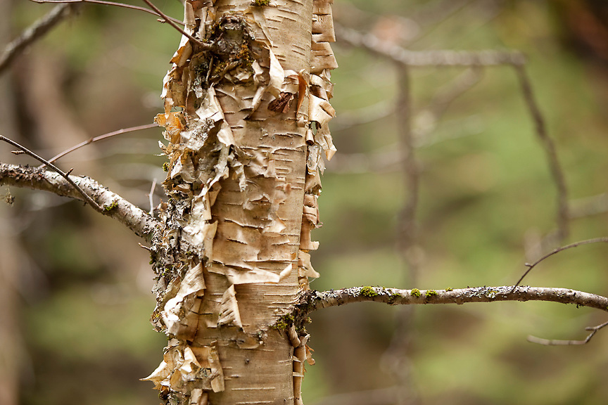 Birch bark peels back from a tree in Mont Tremblant National Park in Quebec, Canada. PHOTO BY TIM SNOW