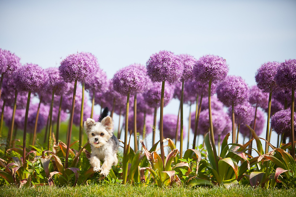 Silky Terrier jumping out of giant allium plants in the Boston Public Gardens