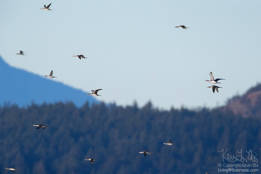 A flock of red-throated loons (Gavia stellata) fly through Deception Pass in Washington state on their way out to feed in the Strait of Juan de Fuca.