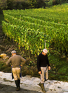 Harvesting Grapes, Equisheim, France