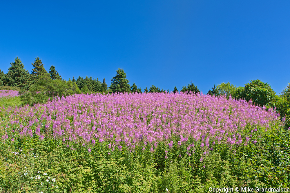Fireweed blossoms at edge of ocean<br />