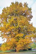 Carya cordiformis (Swamp hickory) foliage in autumn