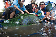 Volunteer veterinarians and workers stabilize a manatee at the health assessment organized by the USGS in Crystal River, FL.  The manatee will be given an overall health assessment and then released.