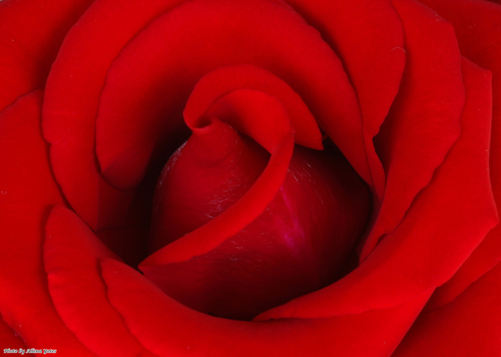This red, red rose would be beautiful on pearlescent paper, as a lustrous print, a metallic print, or on watercolor stock.