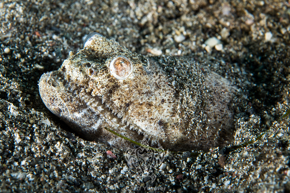 Crocodile Snake Eel peeks out from its burrow in the seafloor<br /> <br /> Shot in Indonesia
