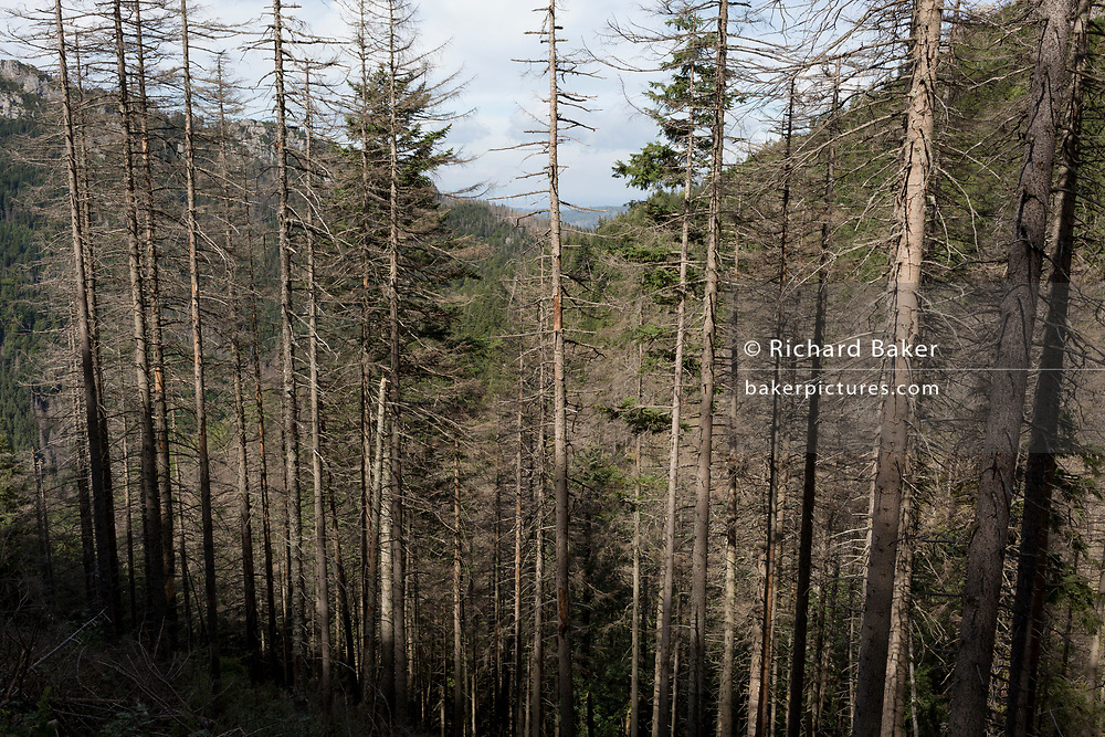 Diseased and dying spruce trees near Sarnia Skala, a mountain in the Tatra National Park, on 16th September 2019, near Koscielisko, Zakopane, Malopolska, Poland. The European spruce beetle (Ips typographus) is one of 116 bark beetles species in Poland which is killing thousands of spruces. The insect's population can grow rapidly via wind and snow etc. which eventually leaves a gap in the landscape, thereby changing the forest floor's ecology.