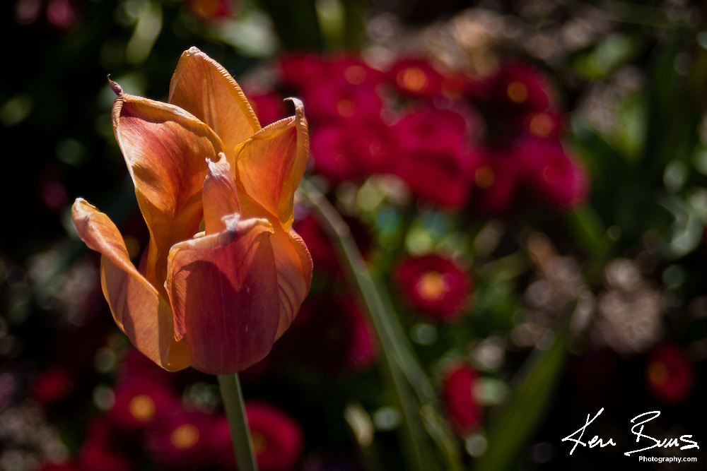A Tulip in the sun infront of the museum of Germany in Munich.