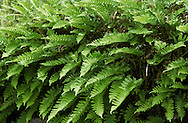 Polypody Fern - Polypodium vulgare