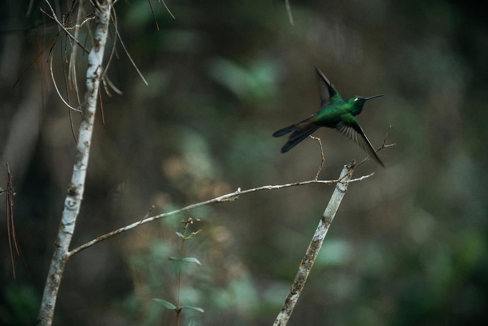 A green emerald humming bird on Feb. 1, 2016 in Humbolt National Park in Eastern Cuba.