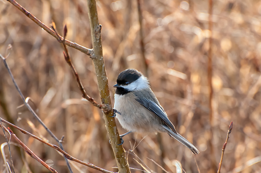 One of the most friendly and curious of American songbirds, this black-capped chickadee pauses on a stick next to me, watching me as closely as I was watching it in the Nisqually National Wildlife Refuge.