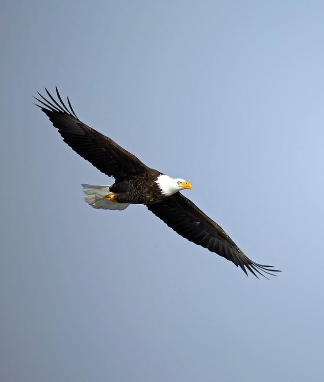 Bald Eagle, Utah