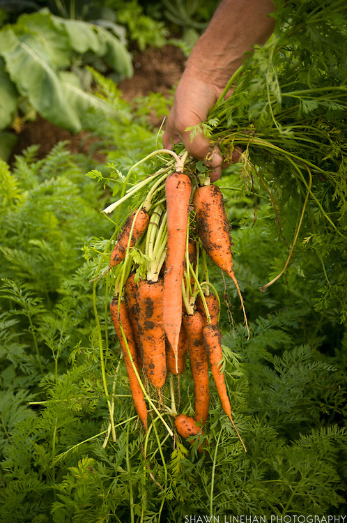 Carrots fresh from the ground.