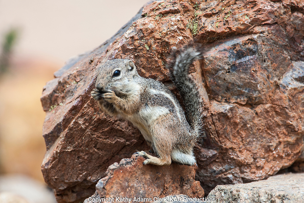 Harris's antelope squirrel, Ammospermophilus harrisii, sitting on rock, eating, southern Arizona in the spring.