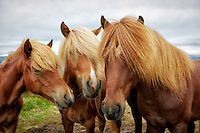 Three beautiful Icelandic horses huddled together in a field in the Westfjords Region of Isafjarðardjúp, Iceland.