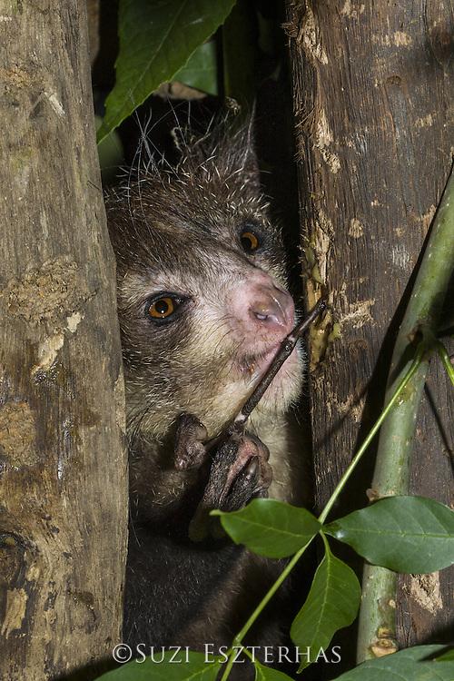 Aye-aye<br /> Daubentonia madagascariensis<br /> Native to Madagascar<br /> *Captive