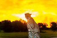 Cheetah at sunset, Kwara Camp, Okavango Delta, Botswana.