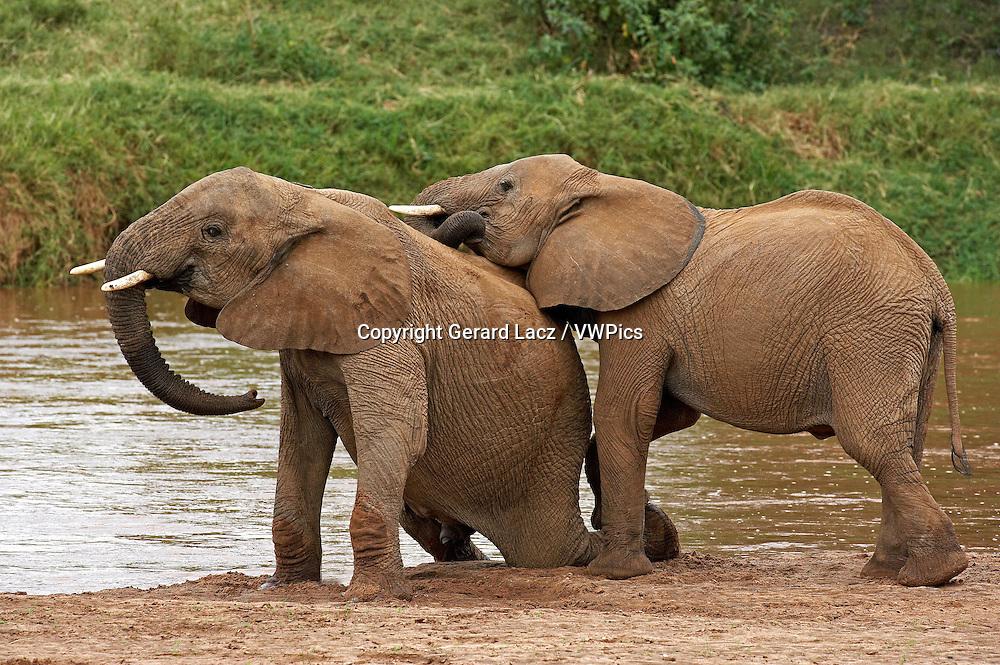 African Elephant, loxodonta africana, Youngs playing near River, Samburu Park in Kenya
