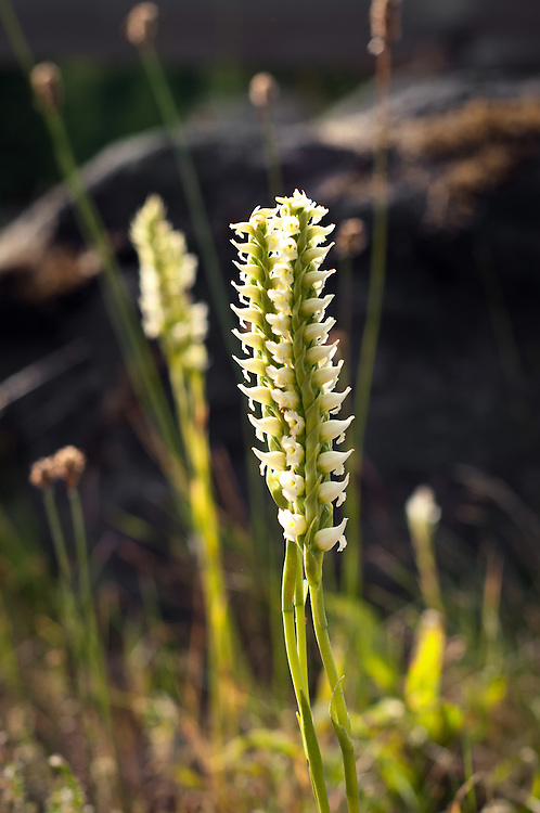 Hooded ladies'-tresses beautifully backlit on a sunny day on Mount Rainier.