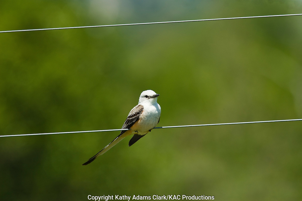 Scissor-tailed flycatcher, a common summer resident in the hillcountry, on a wire near Kerrville, Texas.