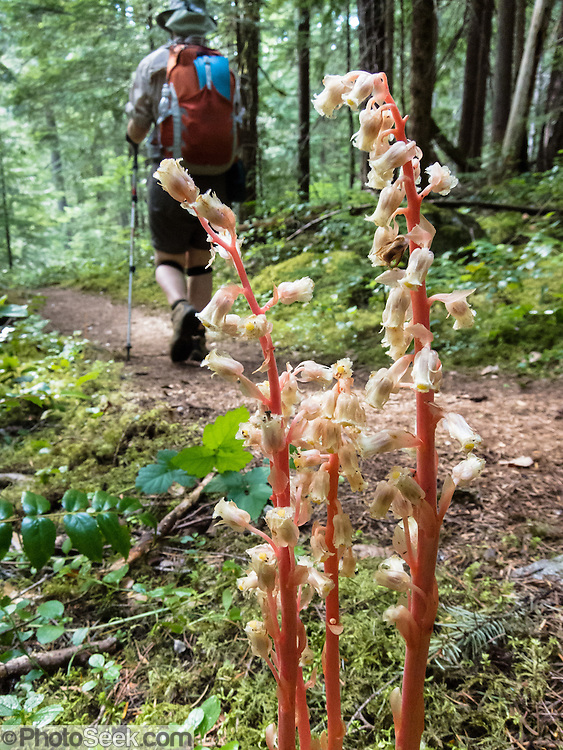 The Pinesap plant (Monotropa hypopithys) blooms with a cluster of 3-10 nodding pale yellow, tan, or sometime reddish flowers on a single stem. It has no chlorophyll, gets nutrients through parasitism on fungi, and can live in very dark forest.  Hike along beautiful Thunder Creek to Fourth of July Pass from Colonial Creek Campground, in Ross Lake National Recreation Area, in the North Cascades, Washington, USA.