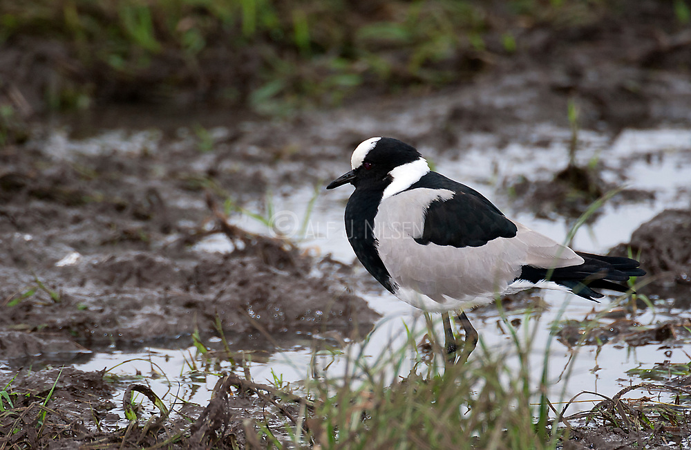Blacksmith Lapwing (Vanellus armatus) from Solio Ranch, Kenya.