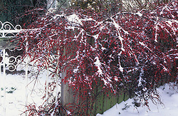 Cotoneaster horizontalis on fence by gate in snow