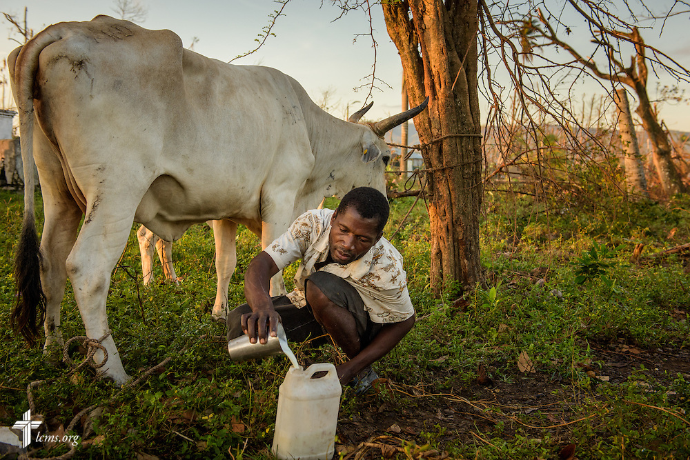 A Lutheran church member milks his cow outside his home on Wednesday, Oct. 12, 2016, in a rural area of Les Cayes, Haiti. Many owners lost their animals -- their livelihood --  to Hurricane Matthew as it tore through the countryside. LCMS Communications/Erik M. Lunsford