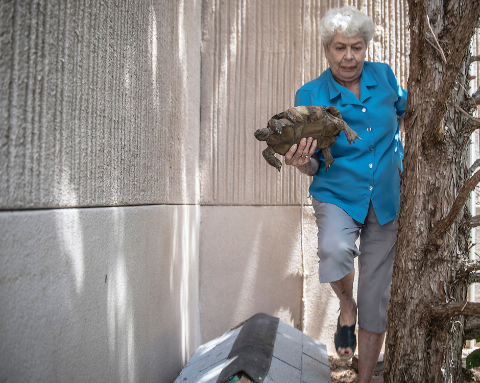rer072617a/metro/July 26, 2017/Albuquerque Journal<br /> Diablo, a 115 year old tortoise belonging to Millie Tjeltweed(Cq) has gone missing somewhere at Manzano Del Sol Village living facility.  Here, she holds Delilah, Diablo's 90 plus year old girlfriend. <br /> Albuquerque, New Mexico Roberto E. Rosales/Albuquerque Journal