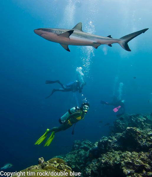 Gray Reef sharks in Yap, Micronesia