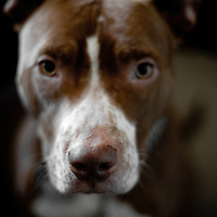 Portrait of Sonny Rollins the pit bull.