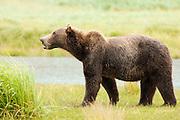 USA, Katmai National Park (AK).Brown bear (Ursus arctos)