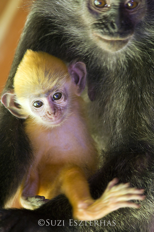 Silvered Langur<br /> Semnopithecus cristata<br /> Mother holding very young infant<br /> Sabah, Malaysia