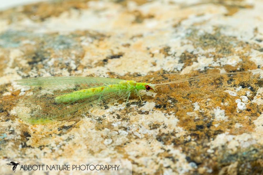 Green Lacewing (Chrysopa quadripunctata)<br /> ALABAMA: Tuscaloosa Co.<br /> Tulip Tree Springs off Echola Rd.; Elrod<br /> 25-May-2016<br /> J.C. Abbott #2819 &amp; K.K. Abbott