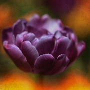 """""""Garden of Tulips""""<br /> <br /> This lovely and deep purple tulip really stands out against all the other colorful tulips in the background. To top this image off I added a bit of beautiful brocade to give this piece texture!"""