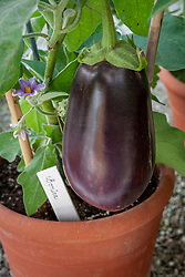 Aubergine 'Bonica' in a terracotta pot in the greenhouse at West Dean gardens, Sussex