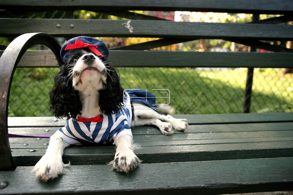 7th July 2006. New York, NY. Maddy the King Charles in French style outfit with hat. ..PHOTO © JOHN CHAPPLE / WWW.JOHNCHAPPLE.COM..THIS COPYRIGHTED IMAGE MUST NOT BE USED WITHOUT PERMISSION