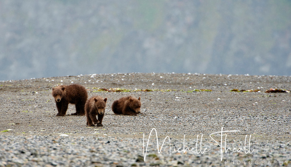 Three Alaska bear cubs on the top of the world at Hallo Bay in Katmai