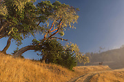 A llama stands along a road in the golden hills of California