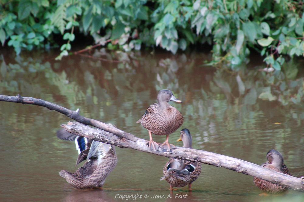 A group of ducks on the D and R feeder canal in Lambertville, NJ